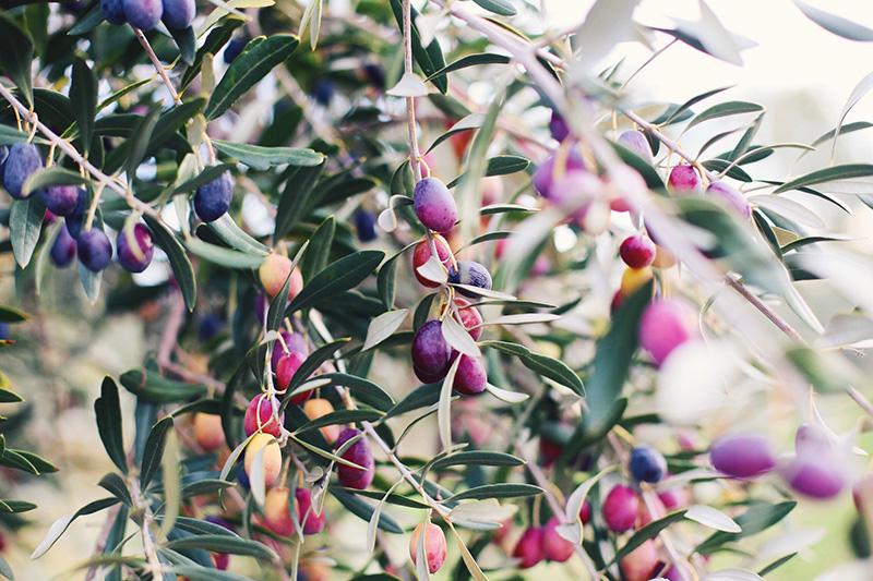 Olives ready for harvest