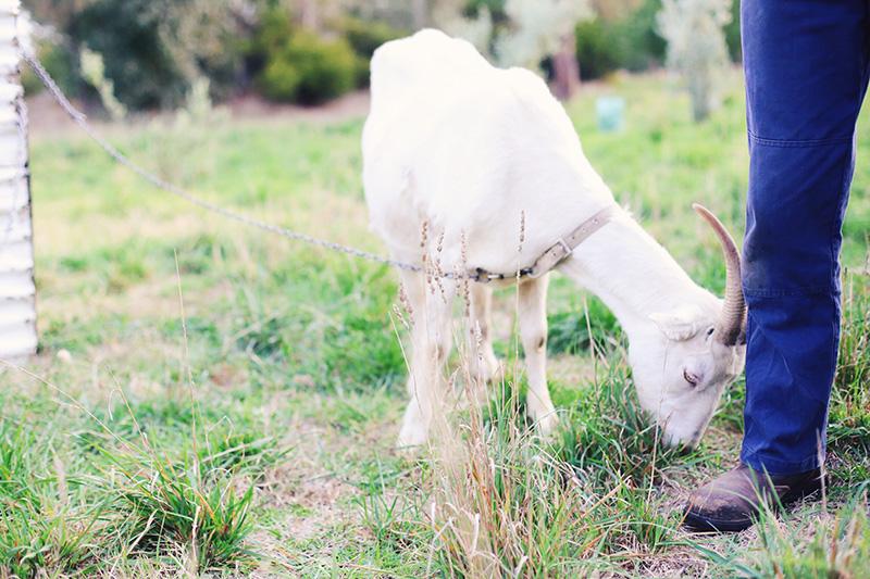 Friendly goats.