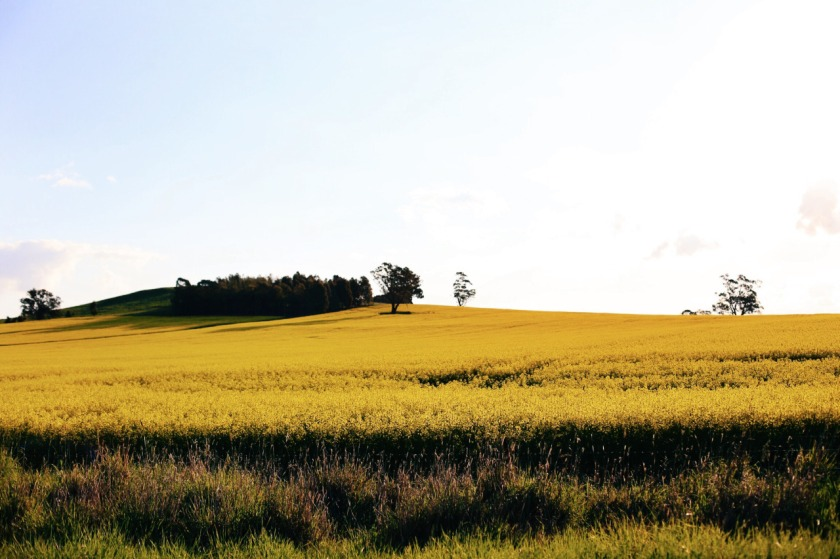 Canola fields in Dookie